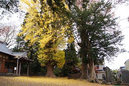 161123佐倉市西福寺の欅⑥