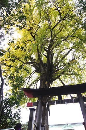 161123二宮神社銀杏①