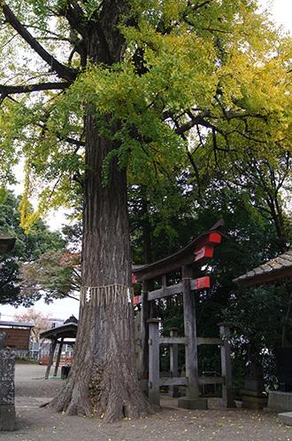 161123二宮神社銀杏②