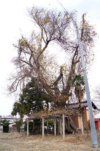161207堂城稲荷神社の榎①