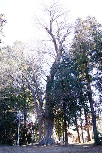 170128小川町八幡神社の欅①