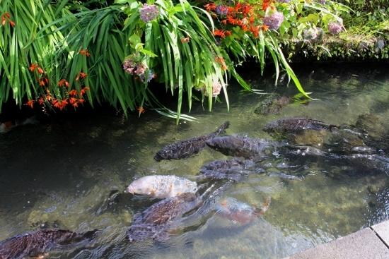 ⑬鯉 (550x367)