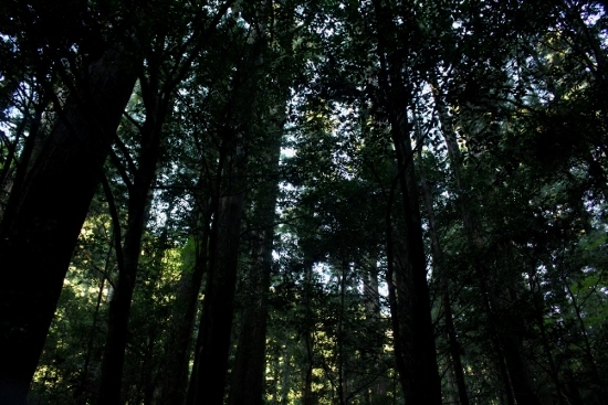 ⑰千本山の杉林