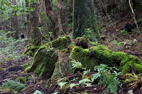 ⑱苔むした杉林