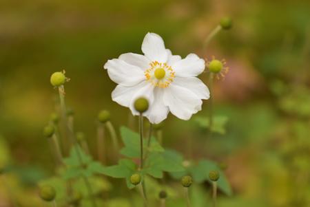 12秋明菊