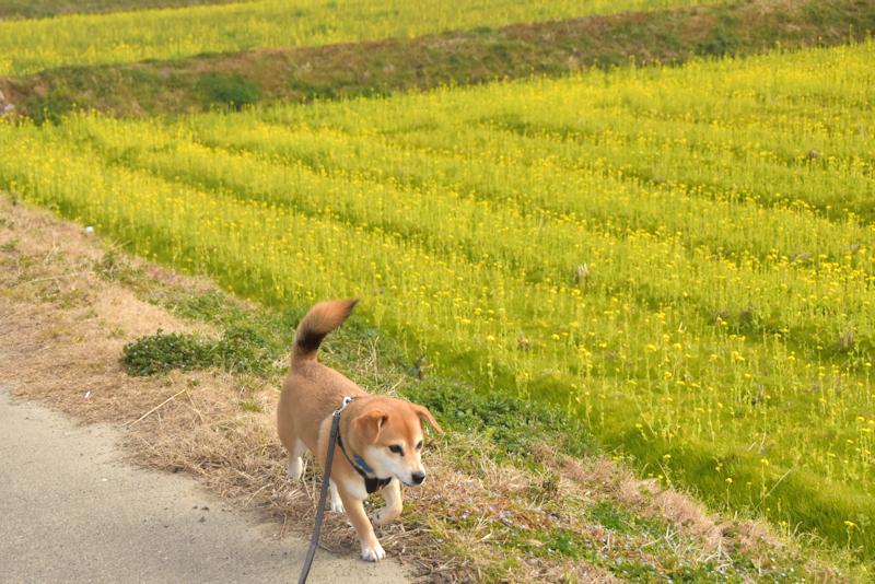 3菜の花畑を歩くたろう