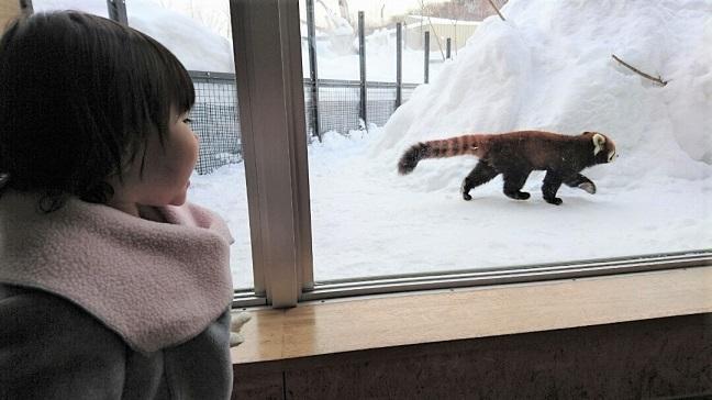雪の上を歩くレッサーパンダ