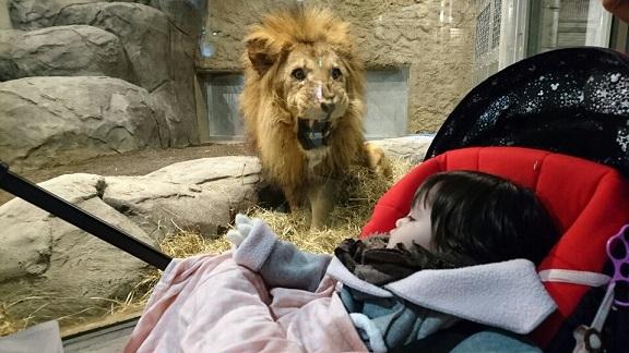 ライオンにすごまれる①