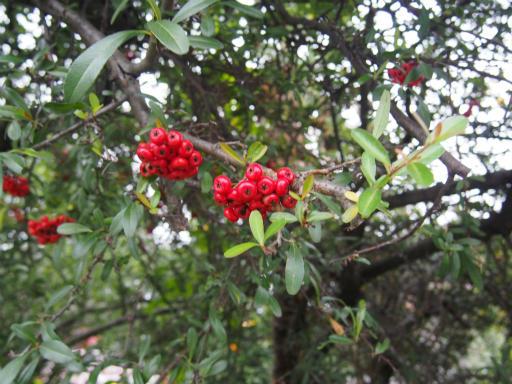 20161123・小手指にて植物2・トキワサンザシ