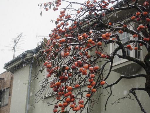 20161124・11月なのに初雪植物5・カキ