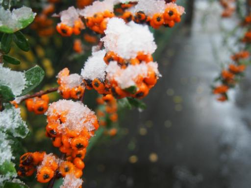 20161124・11月なのに初雪植物6・タチバナモドキ