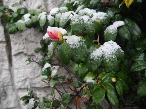 20161124・11月なのに初雪植物1・ツバキ