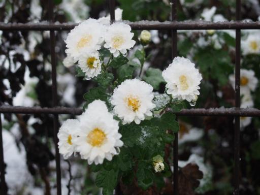 20161124・11月なのに初雪植物2・キク