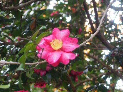 20161204・チラシ散歩植物05・サザンカ