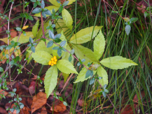 20161204・チラシ散歩植物12・キミノセンリョウ