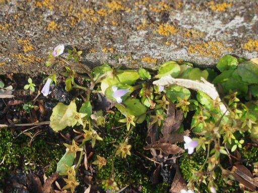 20161204・チラシ散歩植物09・ウリクサ