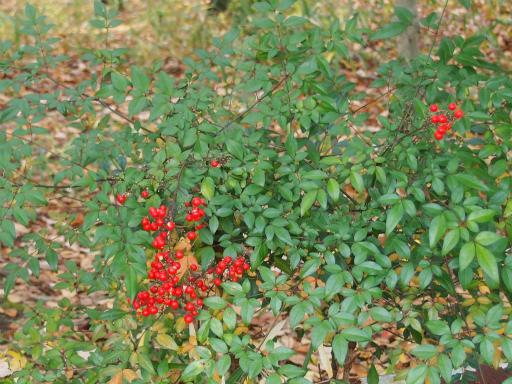 20161204・チラシ散歩植物07・ナンテン