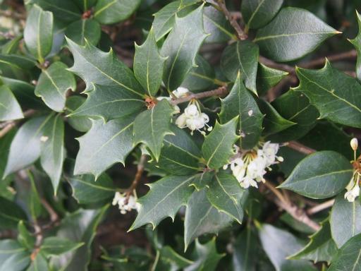 20161204・チラシ散歩植物17・ヒイラギ