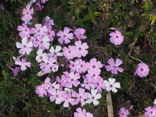 20170129・永源寺植物06・シバザクラ