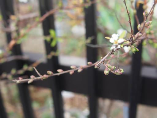 20170129・永源寺植物02・ユキヤナギ
