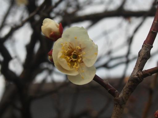 20170129・永源寺植物10・白梅