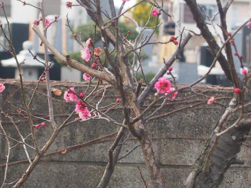 20170129・永源寺植物09・紅梅