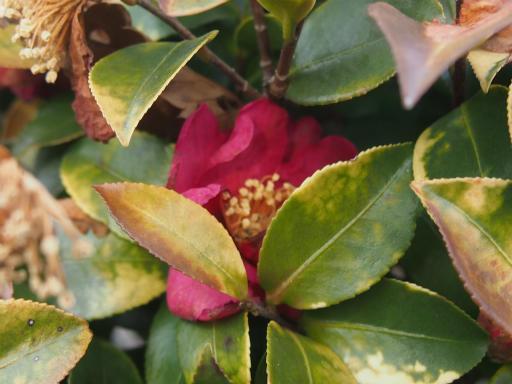 20170129・永源寺植物13・サザンカ