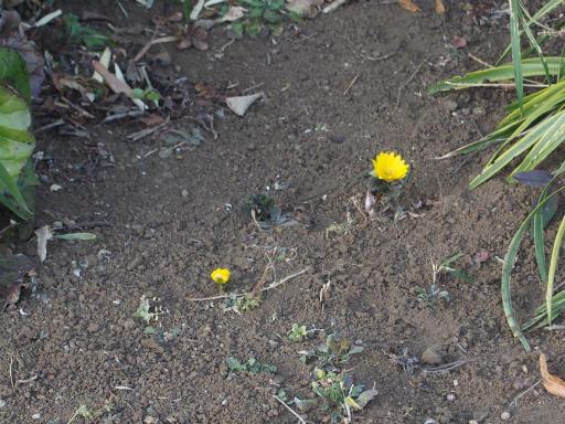 20170204・狭山湖なのだ植物5・フクジュソウ