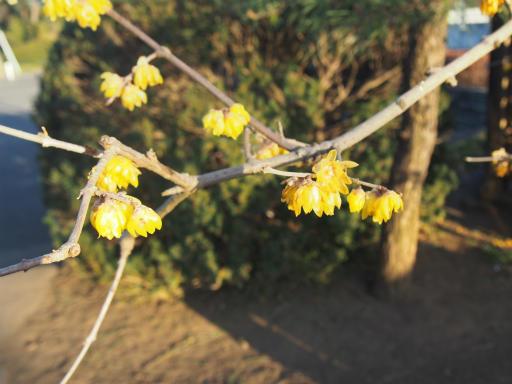 20170204・狭山湖なのだ植物6・ソシンロウバイ