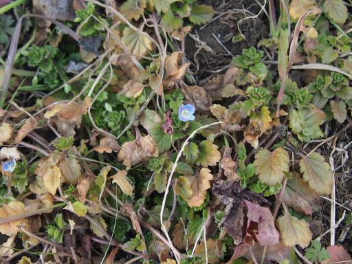 20170204・狭山湖なのだ植物4・オオイヌノフグリ