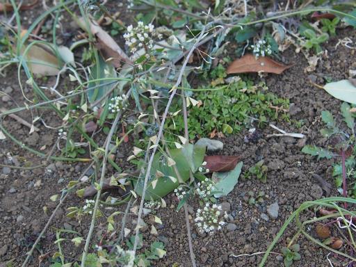 20170204・狭山湖なのだ植物7・ナズナ