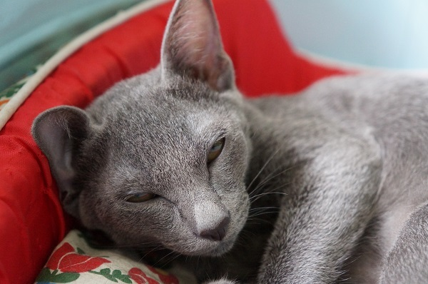 kitten korat cat 7