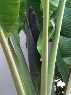 banana2017