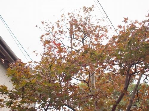 500蜘蛛の巣と紅葉