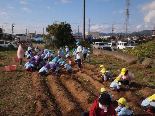 500サツマイモの収穫体験161130
