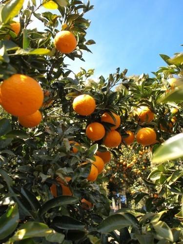 500みかんと柑橘類と三車火宅8