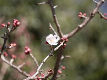 桜20170204