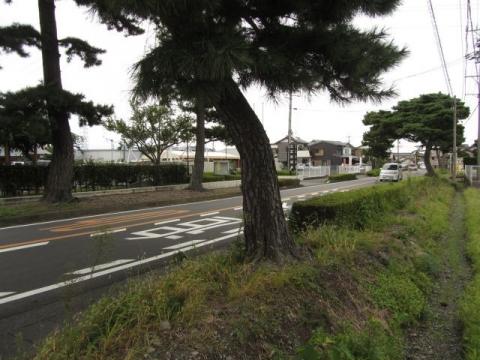 青島の松並木