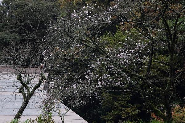 惣河内神社冬桜 161119 01