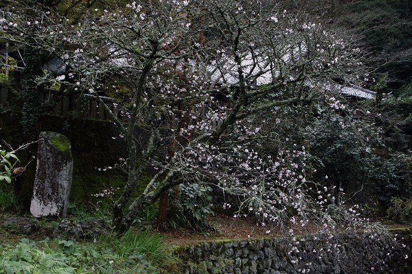 惣河内神社冬桜 161119 02