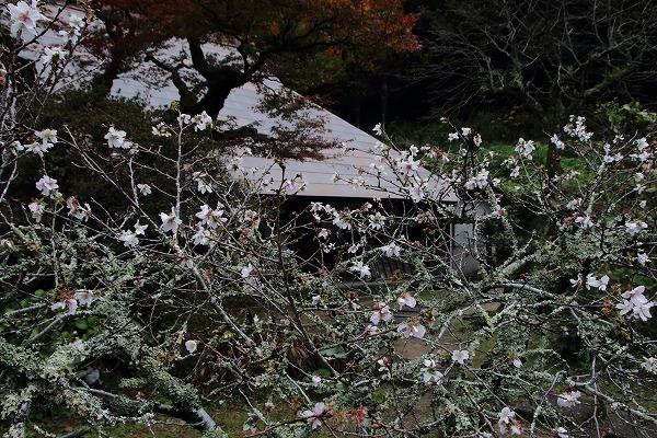 惣河内神社冬桜 161119 03