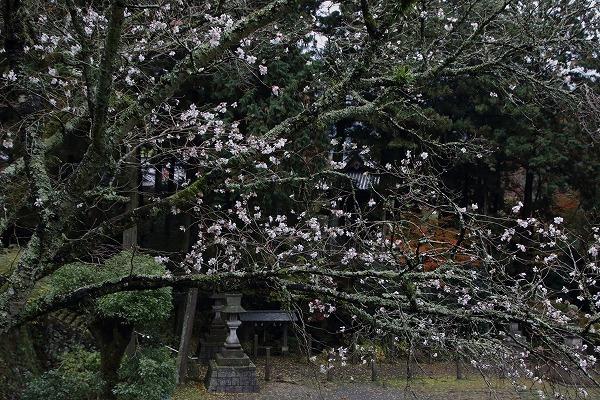 惣河内神社冬桜 161119 04