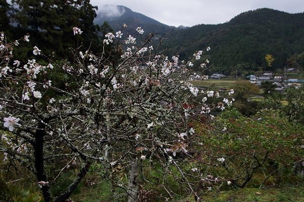 惣河内神社冬桜 161119 05