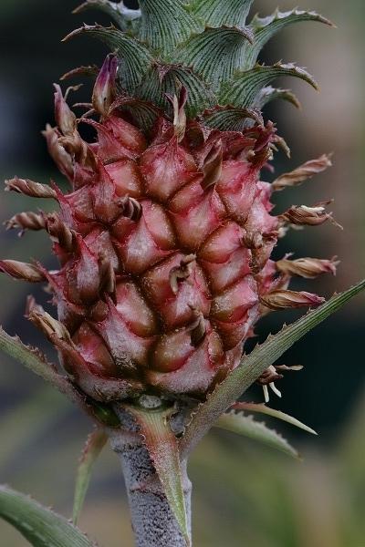 花き研究指導室 ヒメパイナップル 161217 01