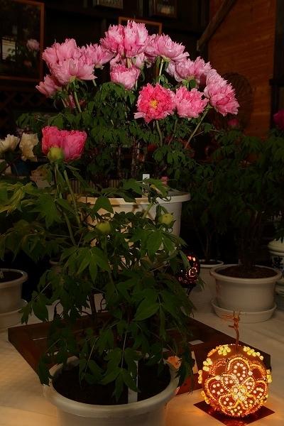 ぼたん茶屋冬牡丹祭 170107 09