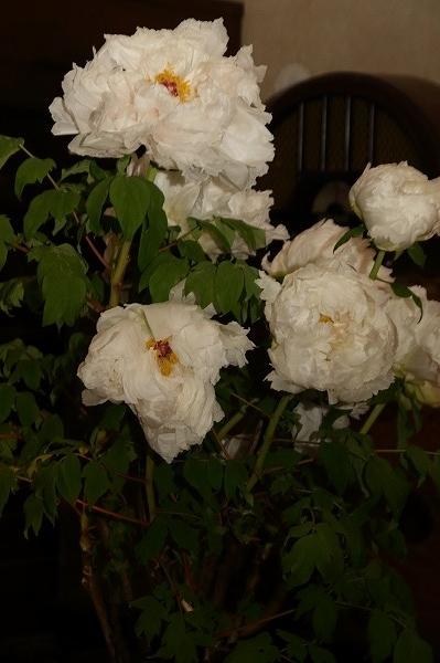 ぼたん茶屋冬牡丹祭 170107 03