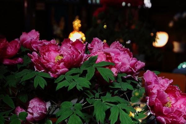 ぼたん茶屋冬牡丹祭 170107 06