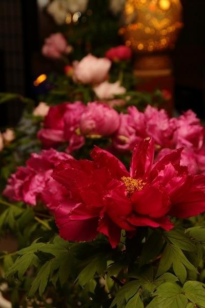 ぼたん茶屋冬牡丹祭 170107 05