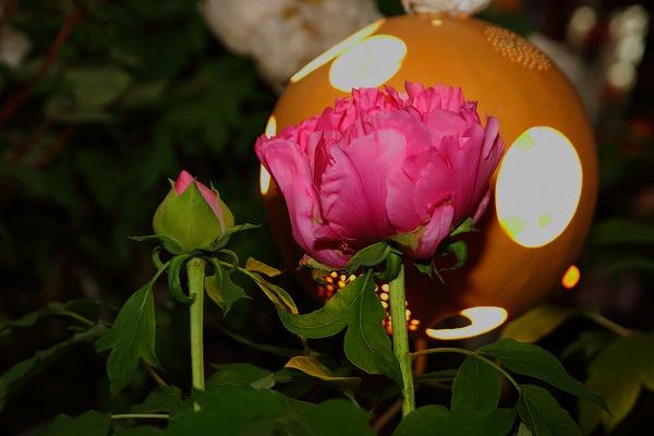 ぼたん茶屋冬牡丹祭 170107 10