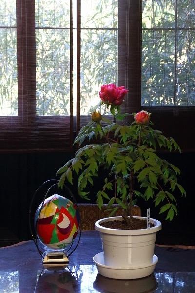 ぼたん茶屋冬牡丹祭 170107 11